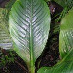 Фото 42: Spathiphyllum blandum