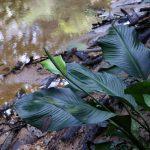 Фото 35: Спатифиллум каннолистный в природе
