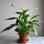 Фото 26: Spathiphyllum floribundum