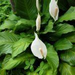 Фото 130: Spathiphyllum kochii Engler