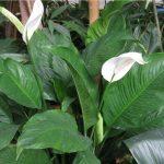 Фото 138: Spathiphyllum wallisii