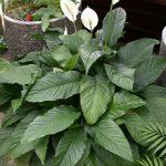 Фото 137: Spathiphyllum wallisii Domino