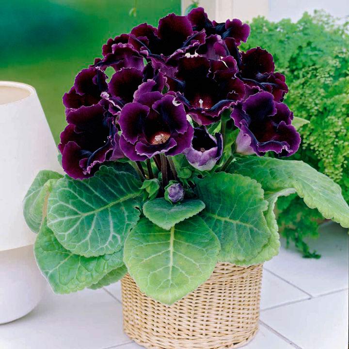 Глоксинии: уход и выращивание