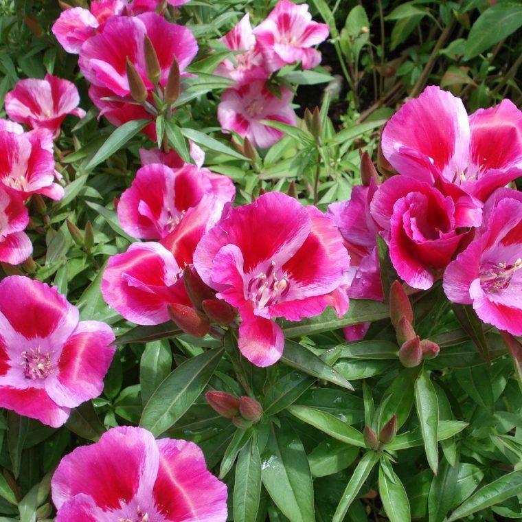 Цветы годеция когда сажать 982