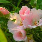 Фото 30: Годеция крупноцветковая Sybil sherwood