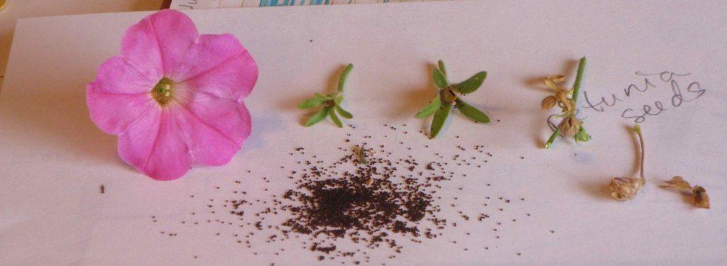 Извлечение семян петунии из семенной коробочки