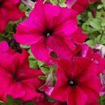 Фото 54: Крупноцветковая петуния