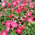 Фото 59: Петуния многоцветковая mambo red morn