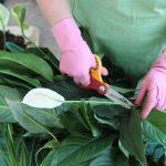 Фото 96: Обрезка цветоноса спатифиллума