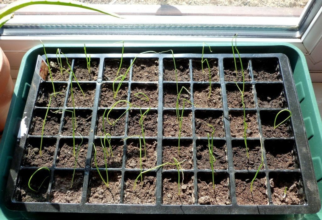 Выращивание лук порея через рассаду 524