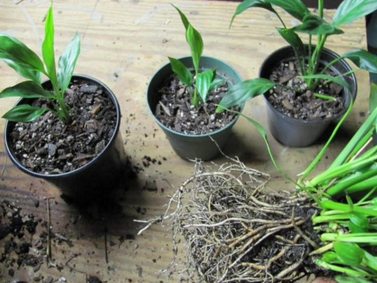 Выращивание и уход за спатифиллумом в домашних условиях