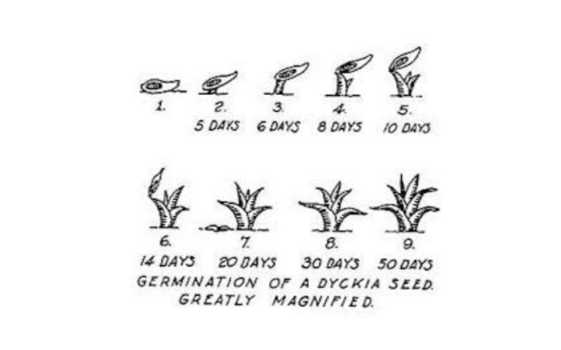 Период роста рассады гузмании из семян