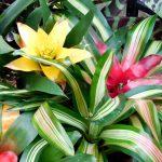 Фото 37: Пестрые листья гибридной гузмании Рондо