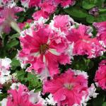 Фото 57: Крупноцветковая петуния бахромчатая Кристина