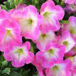 Фото 34: Петуния многоцветковая