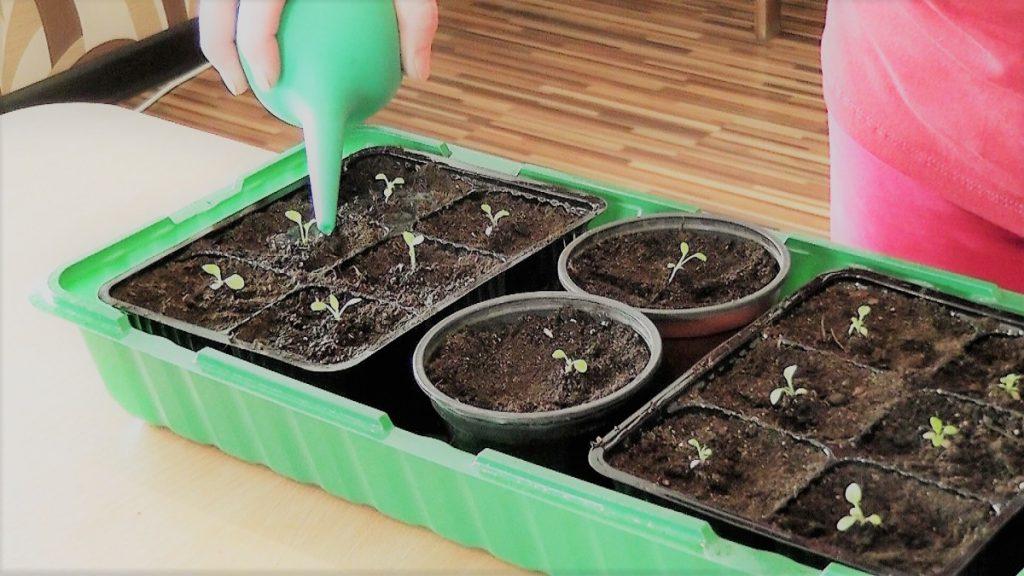 Полив семян петунии при помощи груши