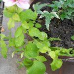 Фото 116: Пожелтение листьев петунии