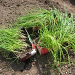 Фото 72: Рассада лука - поеря перед высадкой в открытый грунт