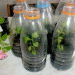 Фото 62: Парники для рассады петунии при помощи бутылок