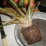 Фото 88: Разрастание корневой системы гузмании