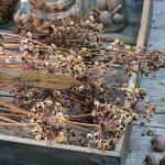 Фото 80: Получение семян лука–порея