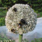 Фото 25: Соцветие карантанского лука - порея
