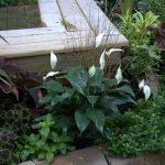Фото 129: Спатифиллум в саду
