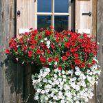 Фото 105: Украшение отливов окна петунией