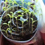 Фото 106: Выращивание рассады петунии улиткой