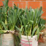 Фото 111: Сбор урожая лука–порея