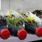 Фото 107: Выращивание рассады петунии в бутылках горизонтально