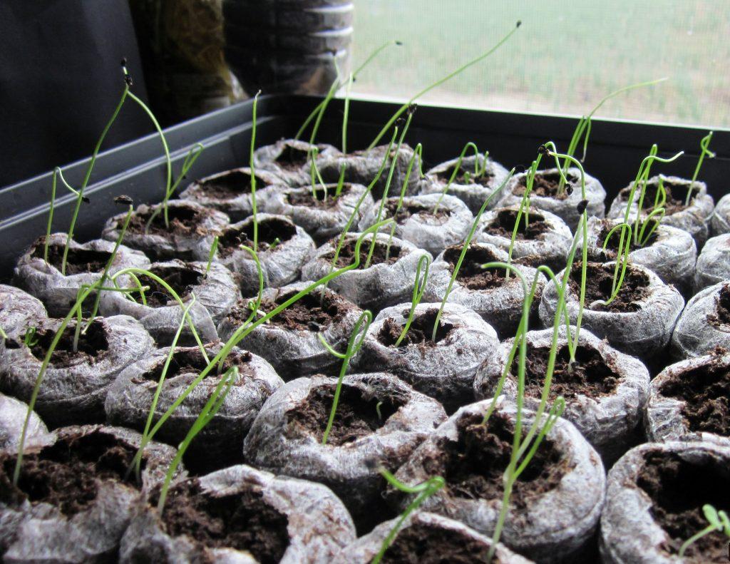 Выращивание лука-порея через рассаду 57
