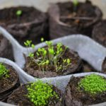 Фото 49: Выращивание рассады петунии в торфяных таблетках