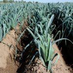 Фото 21: Выращивание лука порея в первый год