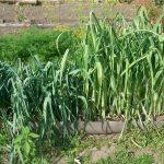Фото 39: Выращивание лука - порея Камус