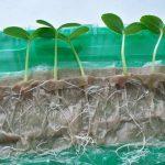 Фото 111: Выращивание сеянцев петунии на туалетной бумаге