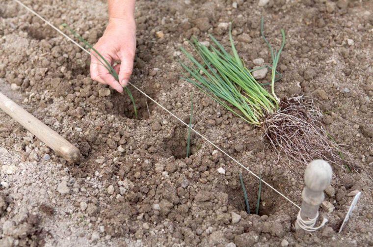 Выращивание лук порея через рассаду 660