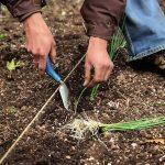 Фото 73: Высадка рассады лука–порея в открытый грунт
