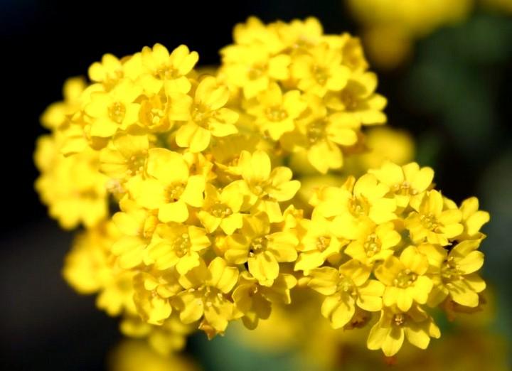 Алиссум желтый