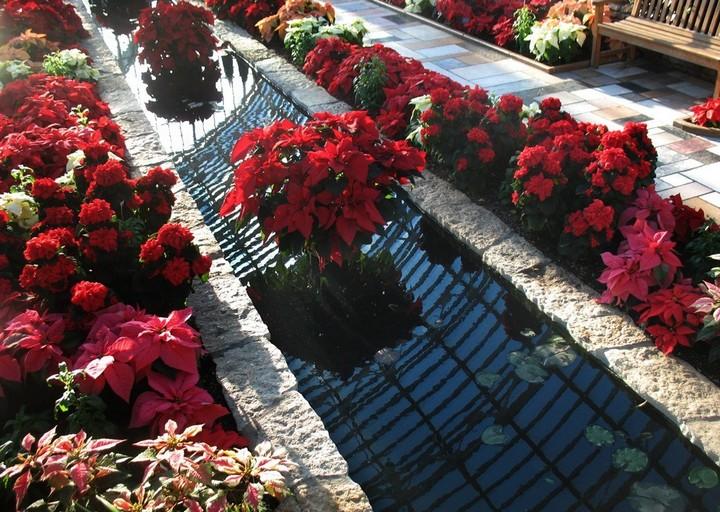 Пуансетия сад