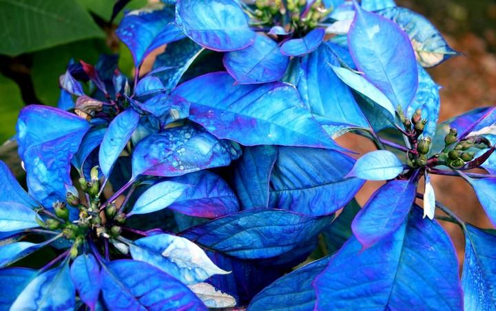 Пуансетия синяя