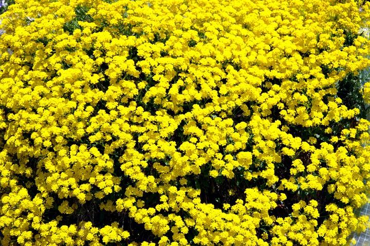 алиссум желтый (2)
