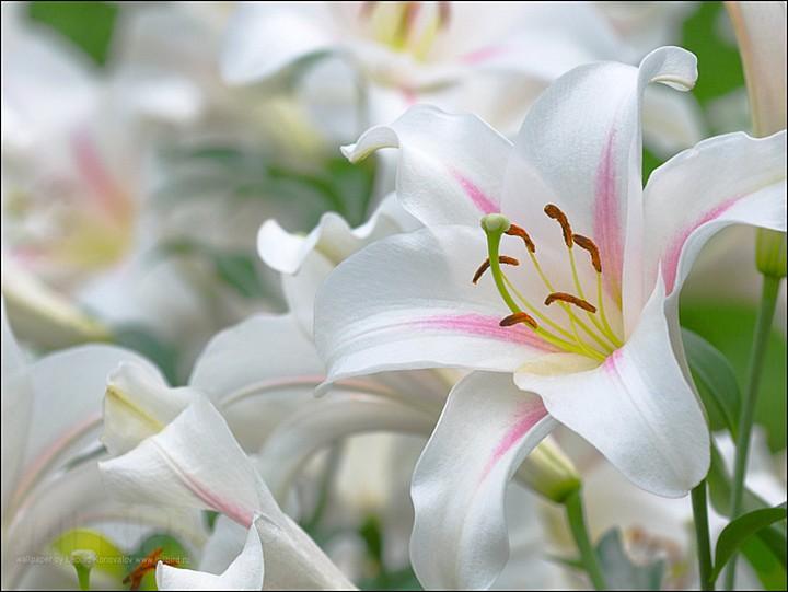 белые лилии2