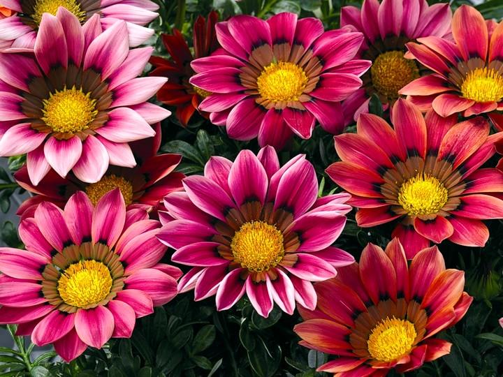 Гарциния уход и выращивание 19
