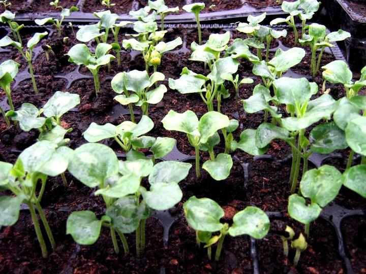 гелиотроп выращивание