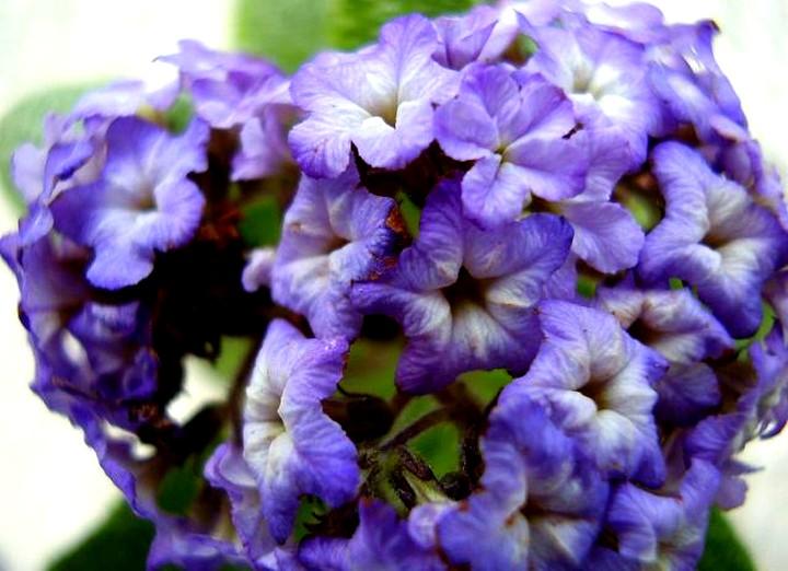 гелиотроп цветы (2)