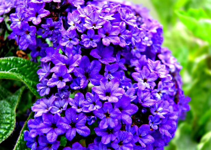 гелиотроп цветы (3)