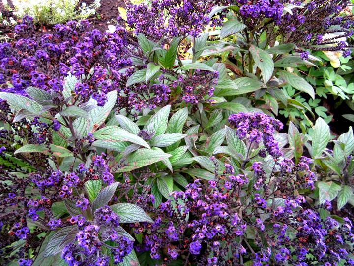 гелиотроп цветы