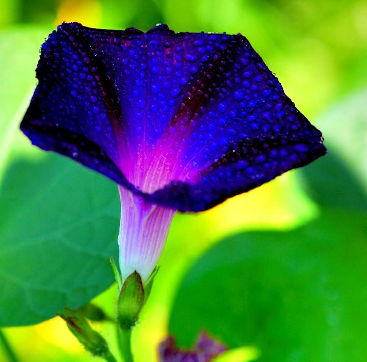 ипомея пурпурная (2)