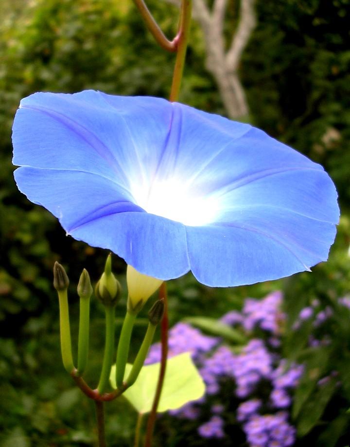 ипомея синяя (2)